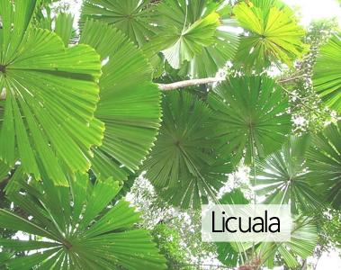 Licuala